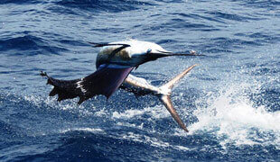 Meet the Sailfish!