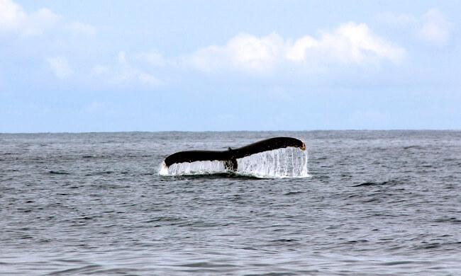 a-hump-back-whale-diving.jpg