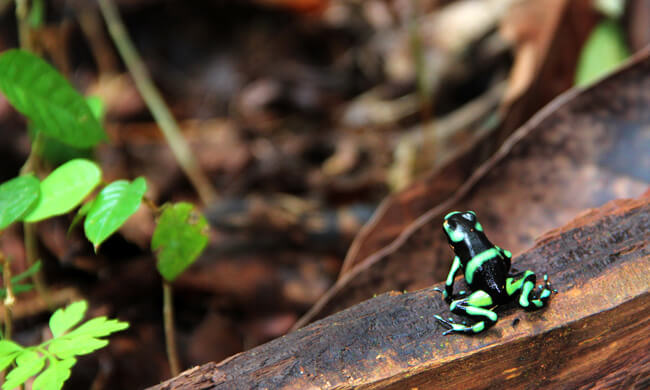 black-and-green-dart-frog.jpg