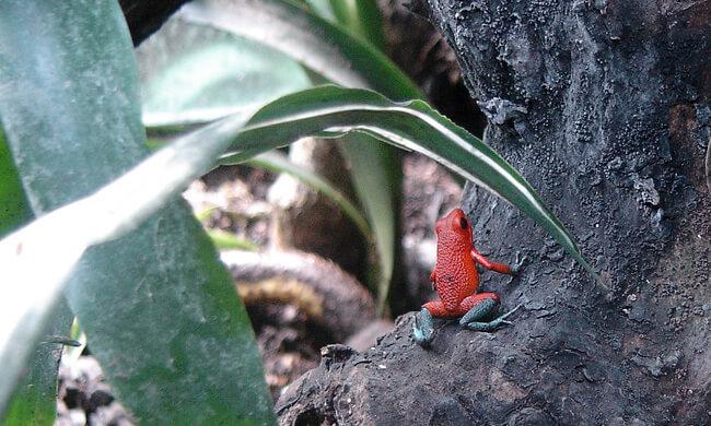 granular-dart-frog.jpg
