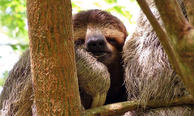 three-toed-sloth-at-lapa-rios.jpg