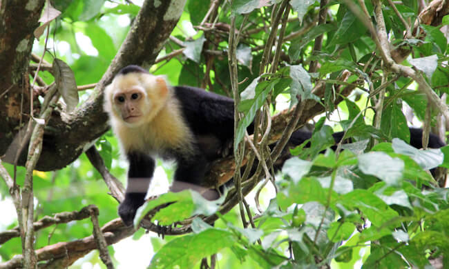 white-faced-capuchin-monkey.jpg