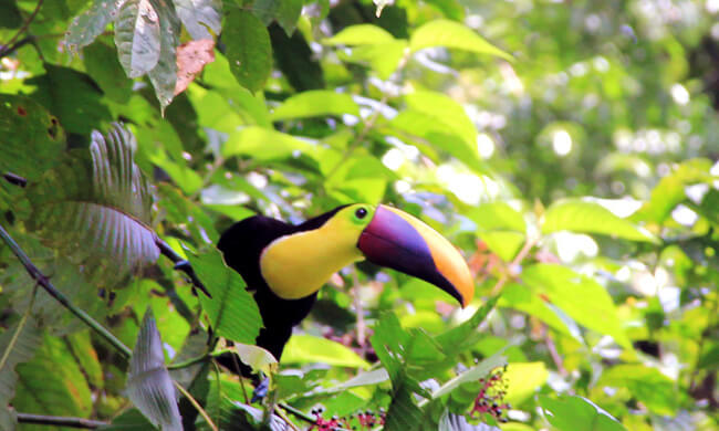 your-typical-costa-rican-toucan.jpg