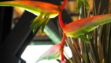 Heliconias