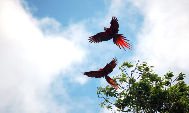 a-paif-or-scarlet-macaws-take-flight.jpg