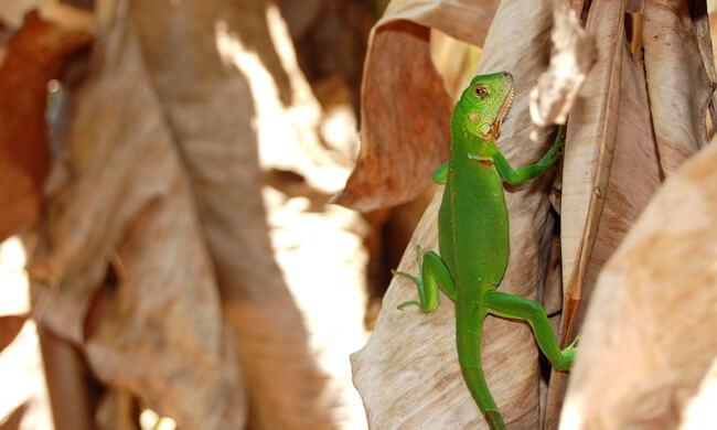 a-watchful-lizard.jpg