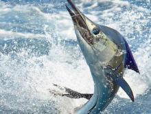 Marlin Fishing Getaway